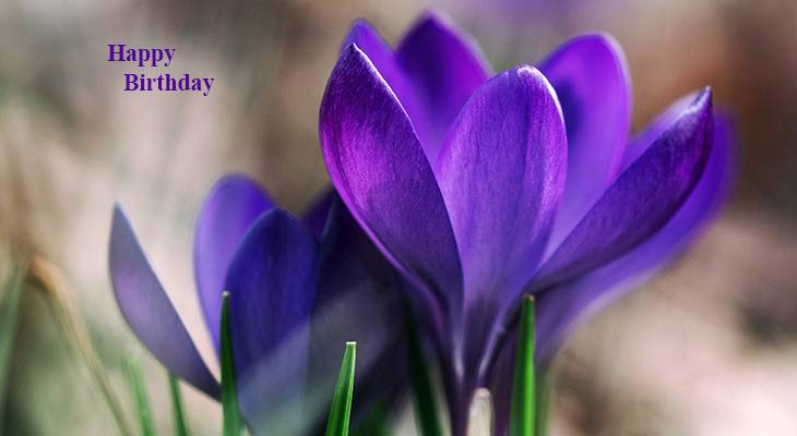 happy birthday wishes, birthday cards, birthday card pictures, famous birthdays, purple flowers, crocus, spring flowers