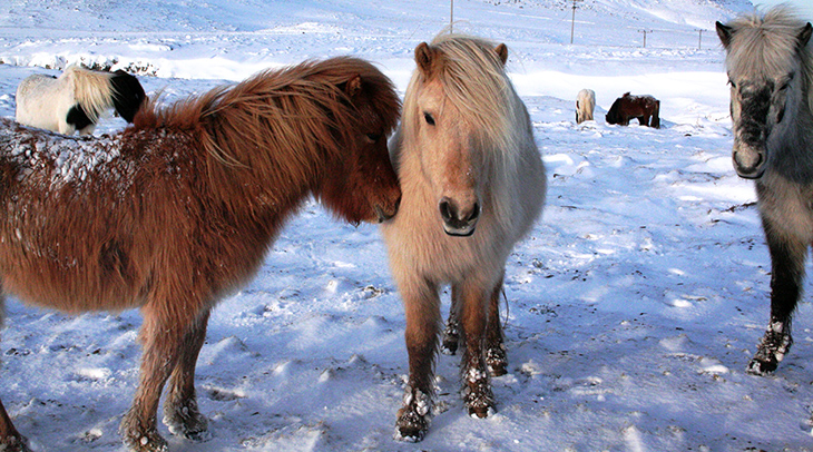 icelandic horses, skagafjorour iceland, iceland ponies, wild horses