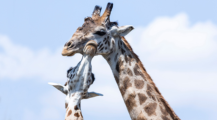 mother giraffe, baby giraffe, happy mothers day, animal moms