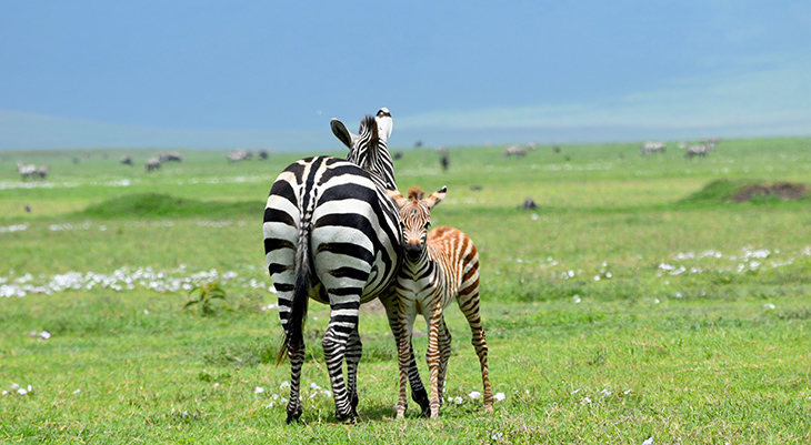 mother zebra, baby zebra,