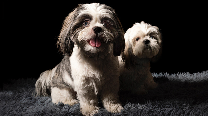 mother dog, puppy, animal mothers, happy mothers day, lhasa apso dogs, shih tsu puppies