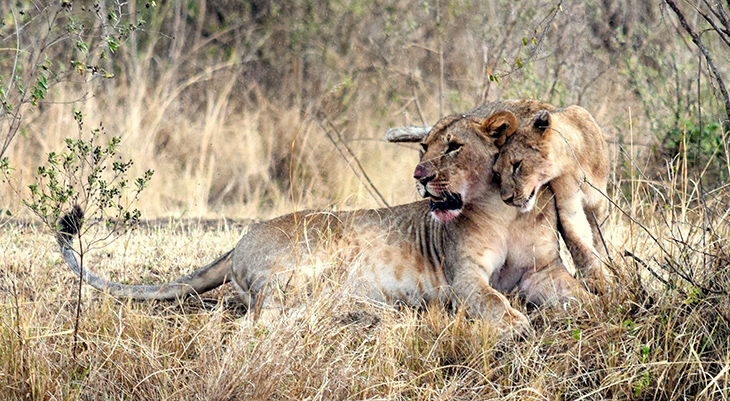 mother lion, lion cubs, baby lions, happy mothers day, lioness, wild animal mothers, animal babies, naboisha conservancy, kenya africa