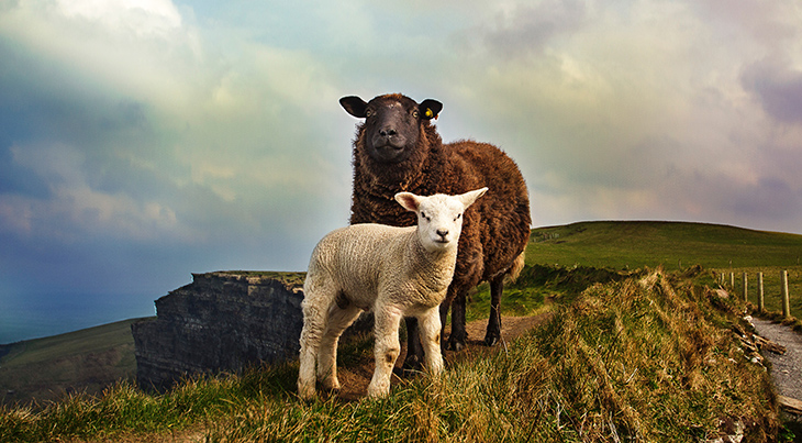 mother sheep, ewe, baby sheep, lamb, happy mothers day, animal mothers, animal babies, cliffs of moher, liscannor ireland