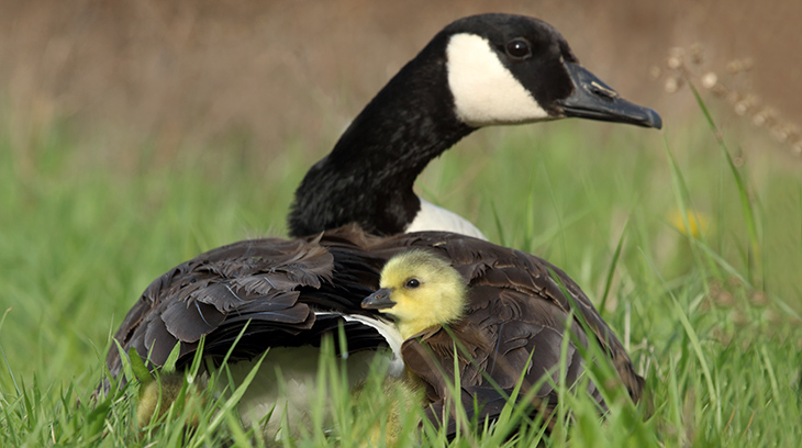 mother goose, goslings, baby geese, happy mothers day, bird mothers, wild birds