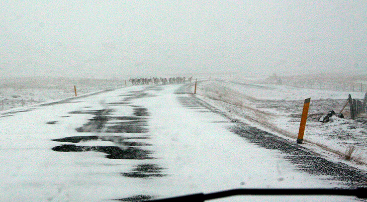 icelandic reindeer, ring road iceland, icelands snowy roads, wild reindeer