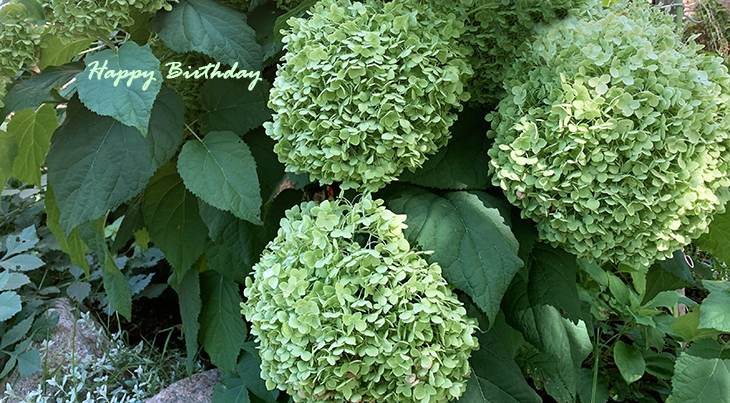 happy birthday wishes, birthday cards, birthday card pictures, famous birthdays, green flowers, limelighter hydrangea