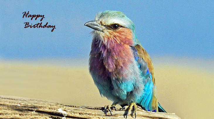 happy birthday wishes, birthday cards, birthday card pictures, famous birthdays, wild birds, lilac breaster roller, kenya, african birds