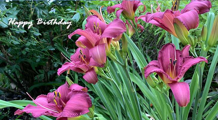 happy birthday wishes, birthday cards, birthday card pictures, famous birthdays, red flowers, pink daylily, summer bulbs