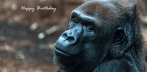 happy birthday wishes, birthday cards, birthday card pictures, famous birthdays, gorilla, great apes, wild animals, frankfurt, germany