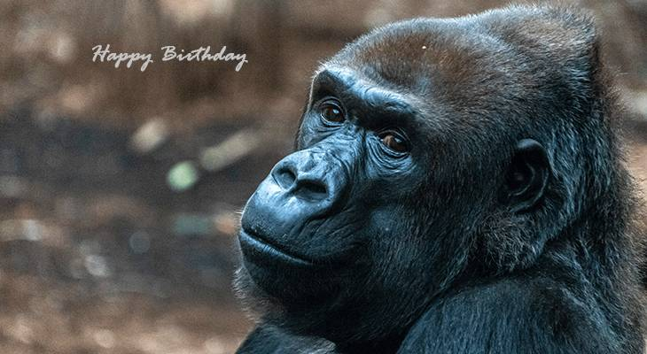 happy birthday wishes, birthday cards, birthday card pictures, famous birthdays, gorilla, great apes, wild animals, frankfurt, germany