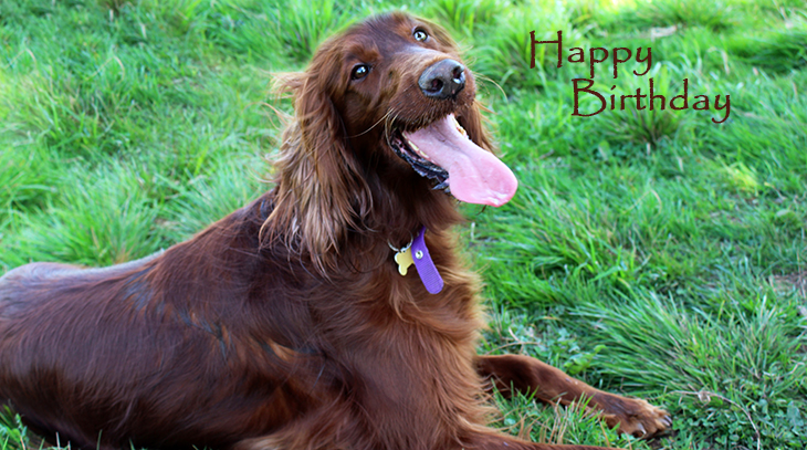 happy birthday wishes, birthday cards, birthday card pictures, famous birthdays, irish setter, red dog, animals