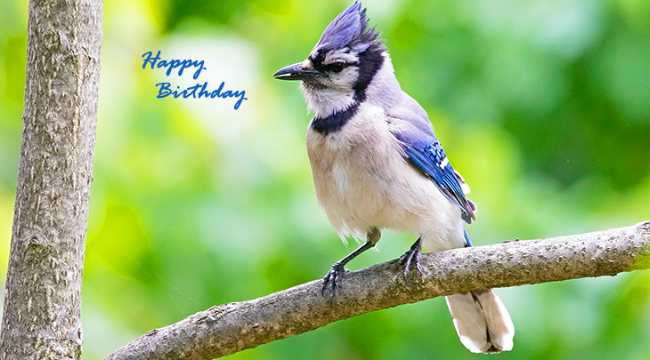 happy birthday wishes, birthday cards, birthday card pictures, famous birthdays, blue jay, blue bird, wild birds