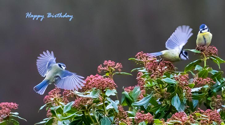 happy birthday wishes, birthday cards, birthday card pictures, famous birthdays, blue birds, eurasian blue tits, flowers, wild birds