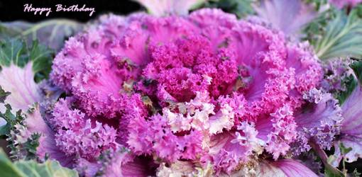 happy birthday wishes, birthday cards, birthday card pictures, famous birthdays, pink flowers, ornamental kale, flowering vegetables