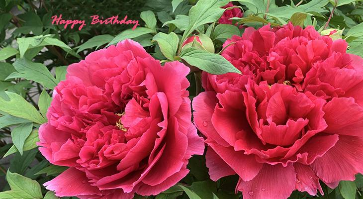 happy birthday wishes, birthday cards, birthday card pictures, famous birthdays, pink peonies, flowers, tree peony