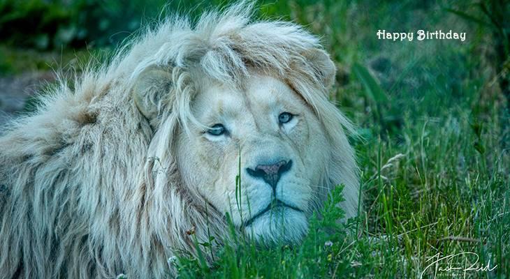 happy birthday wishes, birthday cards, birthday card pictures, famous birthdays, lion, big cat, wild animal, toronto zoo
