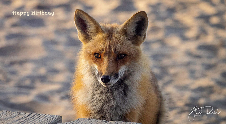 happy birthday wishes, birthday cards, birthday card pictures, famous birthdays, red fox, fox cub, baby animals, wild animal, the beaches, toronto, ontario