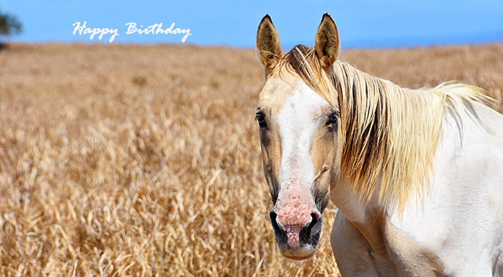 happy birthday wishes, birthday cards, birthday card pictures, famous birthdays, animal, palomino, white horse, kailua kona, hawaii