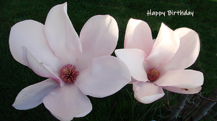 happy birthday wishes, birthday cards, birthday card pictures, famous birthdays, pink flowers, magnolia tree, blossoms