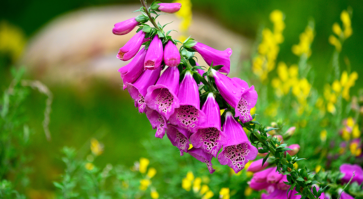 hummingbirds, wild birds, attracting birds, summer flowers for birds, flowers to attract hummingbirds, pink flowers, purple foxglove, digitalis purpurea, red foxglove, poisonous flowers