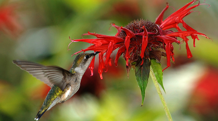 ruby throated hummingbirds, wild birds, attracting birds, summer flowers for birds, flowers to attract hummingbirds, red flowers, scarlet bee balm, monarda didyma, red beebalm
