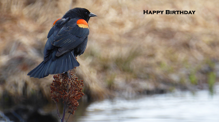 happy birthday wishes, birthday cards, birthday card pictures, famous birthdays, redwing blackbird, wild birds, british columbia