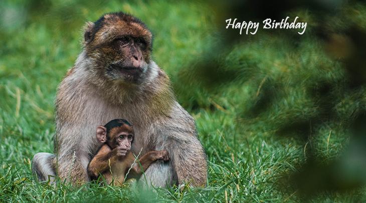 happy birthday wishes, birthday cards, birthday card pictures, famous birthdays, baby monkey, animal, chimpanzee, trentham monkey forest, tittensor uk