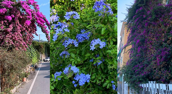 monterosso al mare, cinque terre, flowers of italy, bougainvillea,