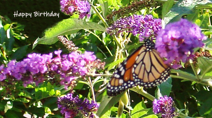 happy birthday wishes, birthday cards, birthday card pictures, famous birthdays, monarch butterfly, butterfly bush, purple flowers