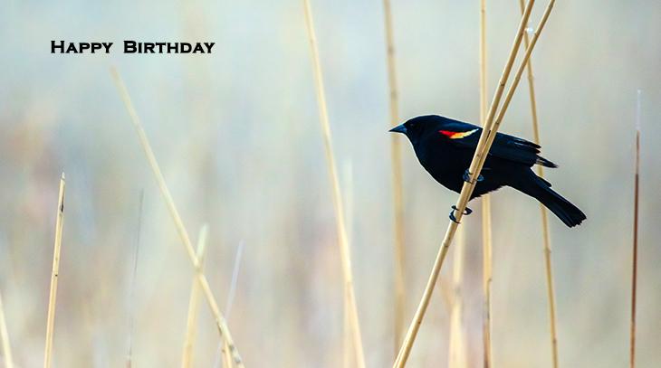 happy birthday wishes, birthday cards, birthday card pictures, famous birthdays, red wing blackbird, wild birds, nature