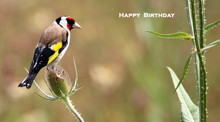 happy birthday wishes, birthday cards, birthday card pictures, famous birthdays, european goldfinch, yellow bird, wild birds, nature, wales, united kingdom