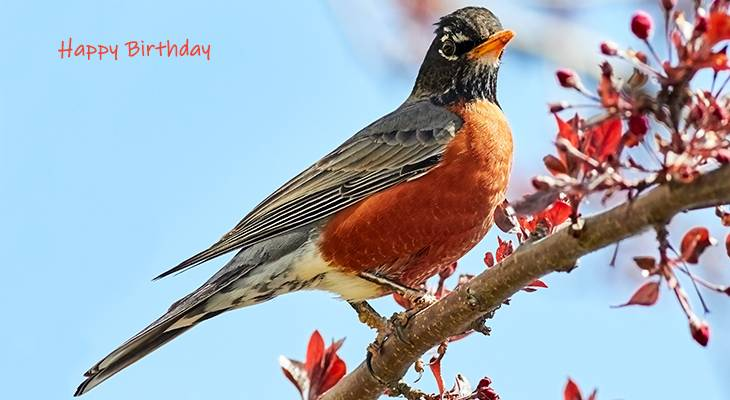 happy birthday wishes, birthday cards, birthday card pictures, famous birthdays, wild bird, robin, red breast