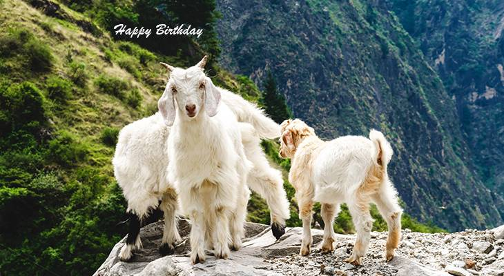 happy birthday wishes, birthday cards, birthday card pictures, famous birthdays, red rose, red flowers, pink roses, single rose, mountain goats, wild animals, white goats,