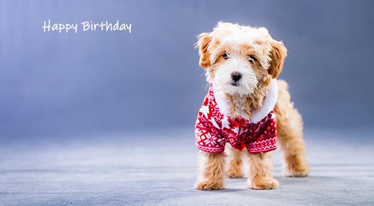 happy birthday wishes, birthday cards, birthday card pictures, famous birthdays, dog, puppy shih tzu, baby animal, christmas, red sweater, holiday