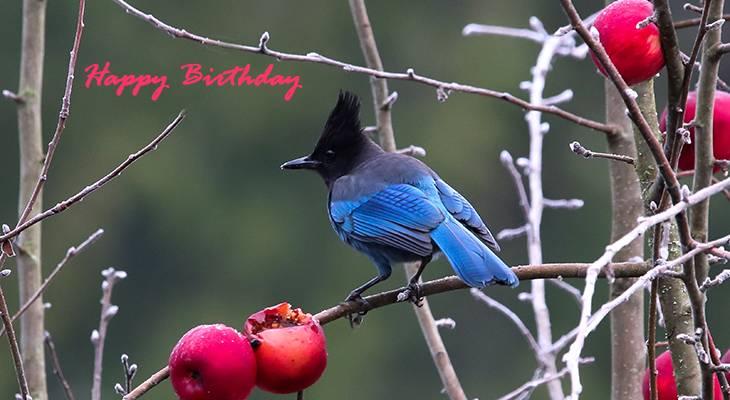 happy birthday wishes, birthday cards, birthday card pictures, famous birthdays, blue bird, blue stellars jay, blue jay, wild bird, red berries
