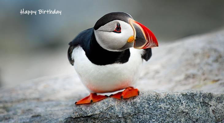happy birthday wishes, birthday cards, birthday card pictures, famous birthdays, puffin, wild bird, machias seal island, new brunswick, canada