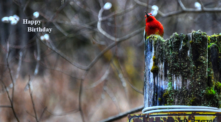 happy birthday wishes, birthday cards, birthday card pictures, famous birthdays, red bird, cardinal, wild birds,