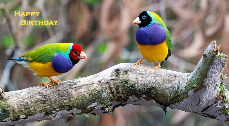 happy birthday wishes, birthday cards, birthday card pictures, famous birthdays, wild birds, gouldian finches, port douglas, australia, green and re birds, blue and yellow bird,
