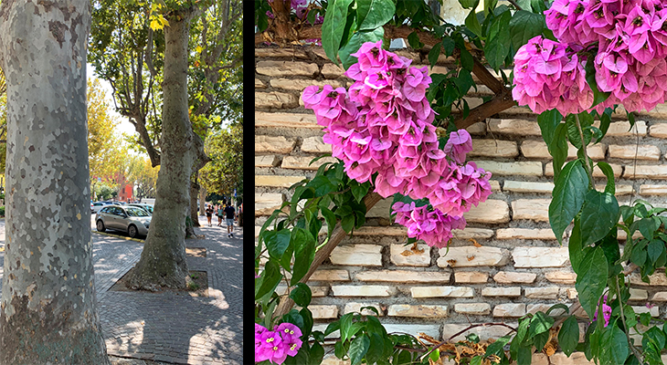 sirmione italy, pink flowers, plane trees, new sirmione, northern italy plants, travel to italy, lombardy, brescia, italian lakes district, bougainvillea,
