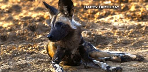 happy birthday wishes, birthday cards, birthday card pictures, famous birthdays, african painted dog, wild animal