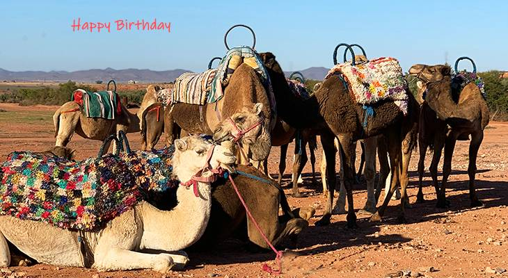 happy birthday wishes, birthday cards, birthday card pictures, famous birthdays, camels, animals, desert, morocco, marrakesh