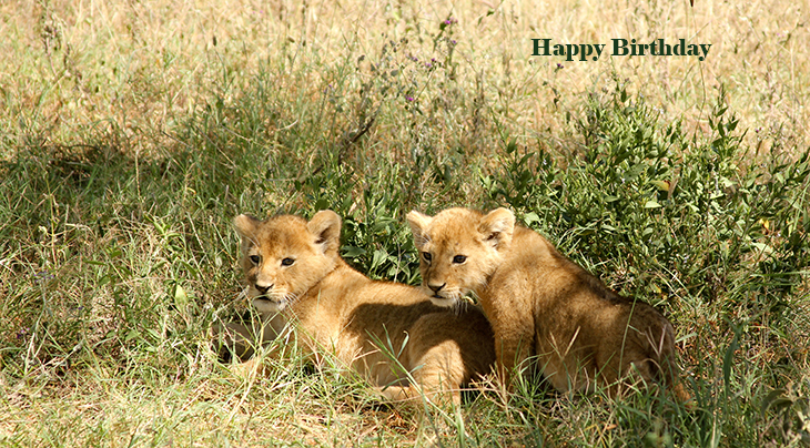 happy birthday wishes, birthday cards, birthday card pictures, famous birthdays, lion cubs, baby animals, african lions, wild animals,