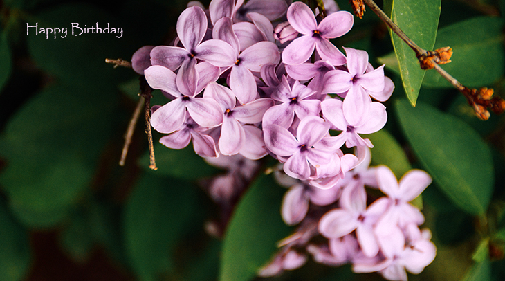happy birthday wishes, birthday cards, birthday card pictures, famous birthdays, pink flowers, lilacs
