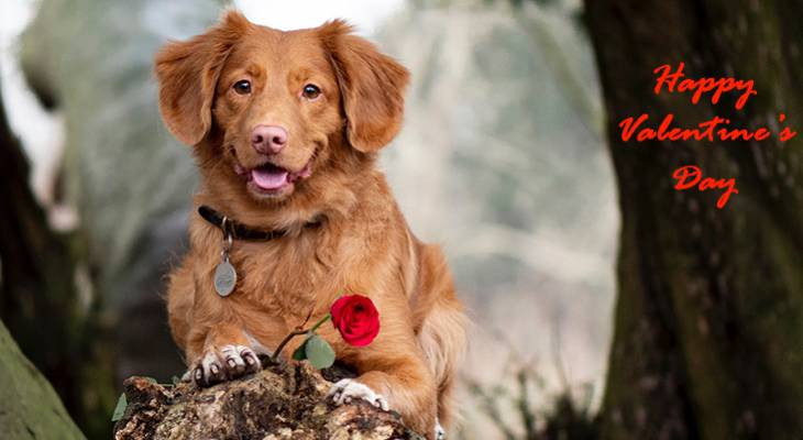 happy valentines day, valentines day greetings, valentine traditions, st valentine, modern valentine card, red roses, retriever dog, greeting cards,