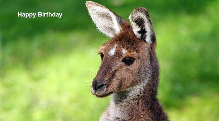 happy birthday wishes, birthday cards, birthday card pictures, famous birthdays, kangaroo, baby animals, joey, australia, wild