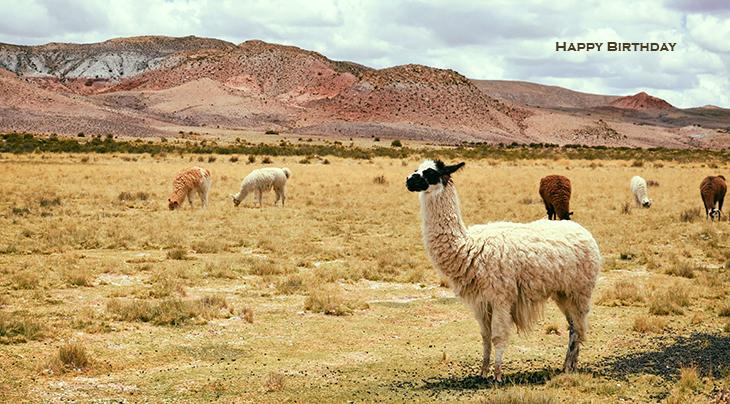 happy birthday wishes, birthday cards, birthday card pictures, famous birthdays, alpacas, wild animals, bolivia