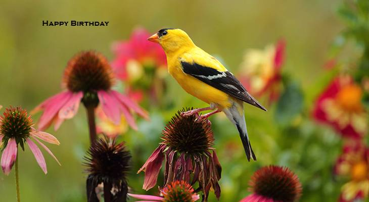 happy birthday wishes, birthday cards, birthday card pictures, famous birthdays, yellow bird, goldfinch, wild birds, pink flower, coneflowers
