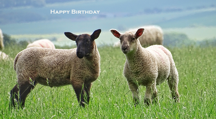 happy birthday wishes, birthday cards, birthday card pictures, famous birthdays, sheep, lambs, baby animals, wiltshire,