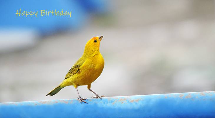 happy birthday wishes, birthday cards, birthday card pictures, famous birthdays, yellow bird, saffron finch, brazil, wild birds