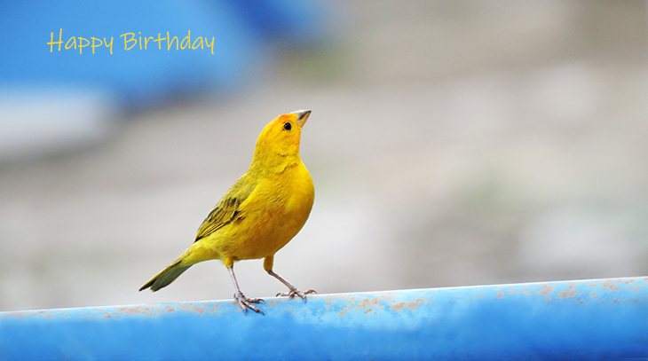 happy birthday wishes, birthday cards, birthday card pictures, famous birthdays, yellow bird, saffron finch, brazil, wild birds